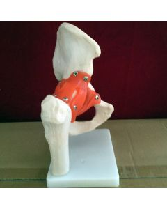 Monday Kids Human elbow joint bendable ligaments model 1:1 for Medical teaching joint model