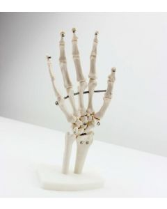 Monday Kids Human hand joint model hand bone ulna radius model human skeletal foot surgery