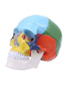 Monday Kids colored Skull removable medical skeleton model Anatomical skulls models skeletons medical skull supplies Teaching model
