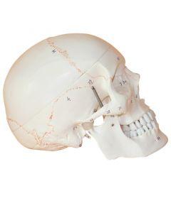 Monday Kids Head Skeleton Skull 1:1 Model Medical Science Teaching Life-size Skull for School Human Anatomy Precise Adult Head Medical Model