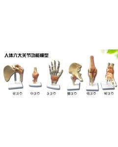 Monday Kids human skeleton model 6pcs joint skeleton model Shoulder, elbow, wrist, hip, knee and ankle joints model free