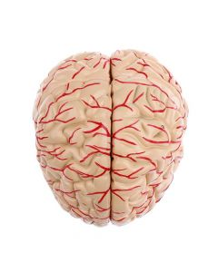 Monday Kids PVC big brain anatomy model brain model arteries Medical Anatomical Brain Model, with Arteries, 9 Parts,with nummber