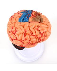 Monday Kids brain human structure model biology teaching medical equipment assembling toys, 32parts,medical model