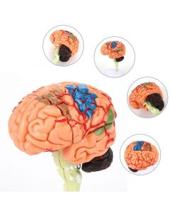 Monday Kids 4D Disassembled Anatomical brain Model of human School Educational Anatomy Medical Brain Model Anatomical Teaching Tool