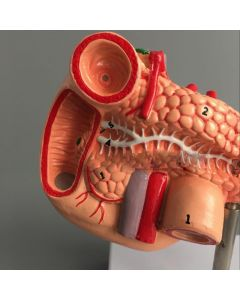 Monday Kids Human Digestive System ModelNatural Spleen and Pancreas Duodenal Model Shows Structure and Hepatic Portal for Medical Student