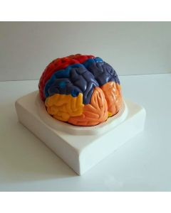 Monday Kids 210mmx180mmx180mm PVC Brain model, brain function area model - human brain anatomical model for medical teaching