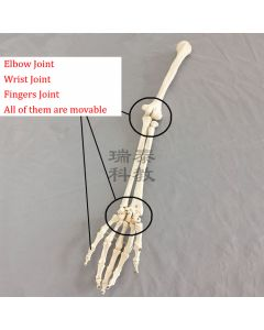 Monday Kids 1:1 Human Bone Model of Bone Adult Arm of Upper Limb Bone Arm and Radius Hand Bone Medical Science School Teaching Supplies