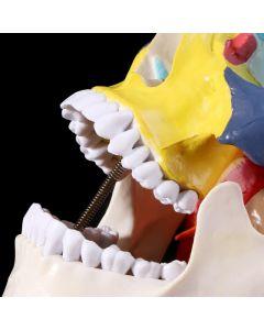 Monday Kids 19*15*21cm Anatomical human color skull model 3 parts 1:1 anatomical medical teaching skeleton